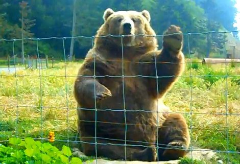 Kodiak-Bear-Waving